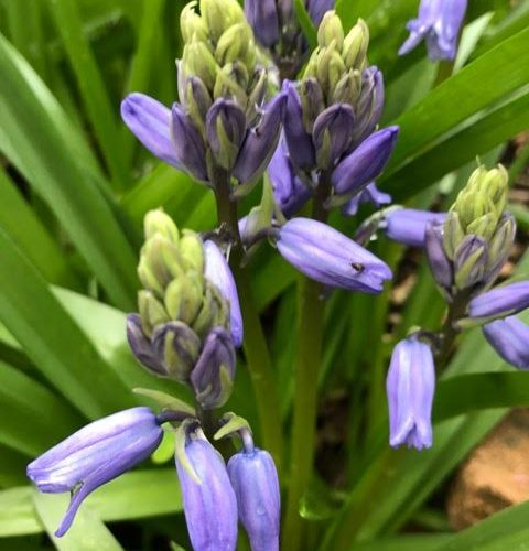 bluebells,spanish bluebells