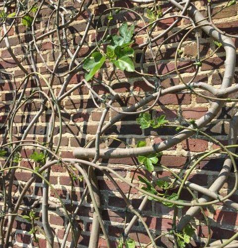 fig tree, fan trained tree