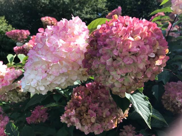 know your hydrangeas the enduring gardener. Black Bedroom Furniture Sets. Home Design Ideas