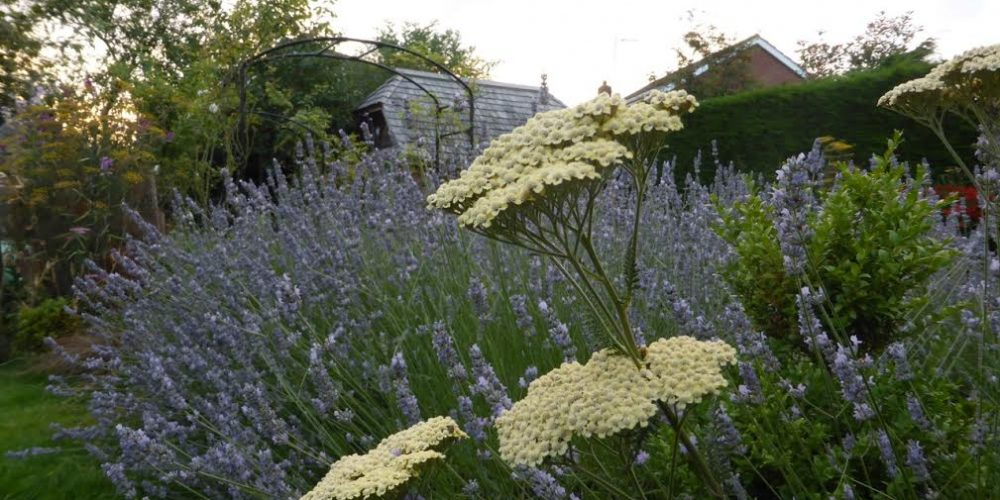 Lavender and Achillea in July