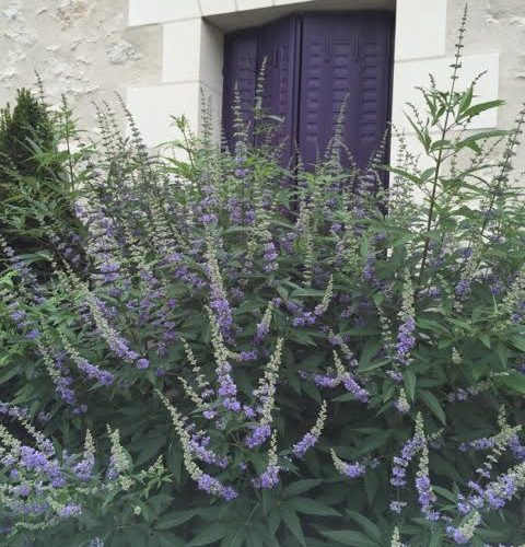 matched paintwork to Vitex agnus-castus