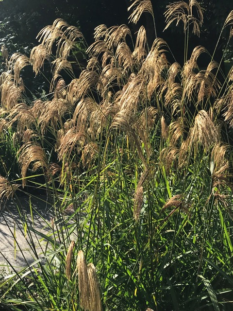 miscanthus,ornamental grasses