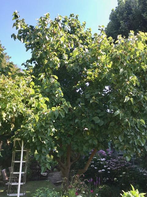 niwaki ladders,mulberry bush