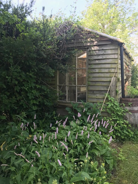 persicaria,shed,cottage garden