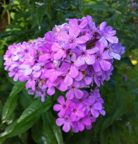 phlox paniculata hesperis in full flower