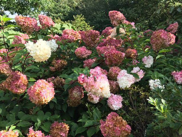 pink hydrangea,hydrangea