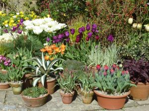 mixed pots of tulips at Dixter