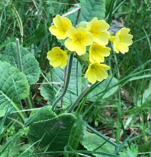 Primula longiflora