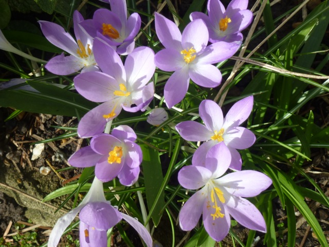 purple crocus in full bloom