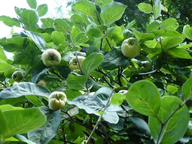 the quince tree is fruiting well.