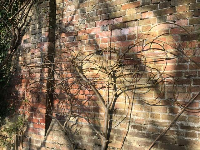 fig tree, espalier