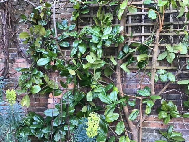 magnolia grandifolia, espalier