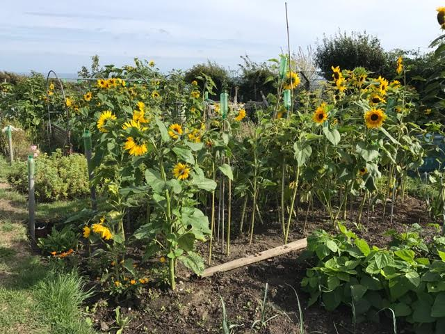 sunflowers,allotment