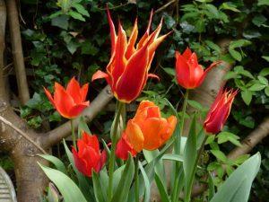 bright tulip ballerina in flower in pot