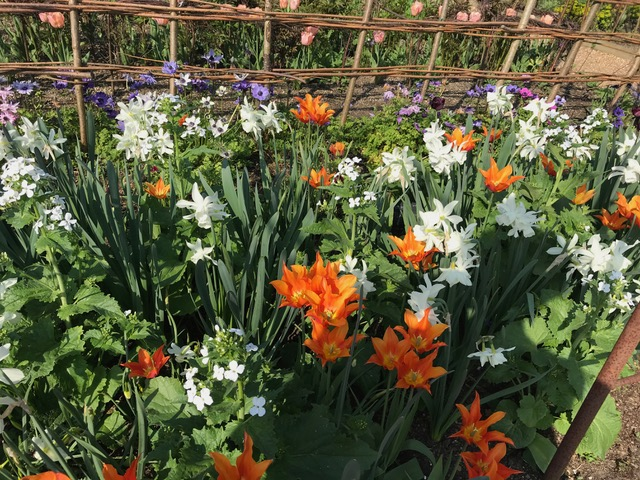 paeony,tulips
