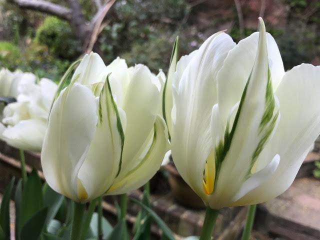 tulips, tulip Exotic Emperor