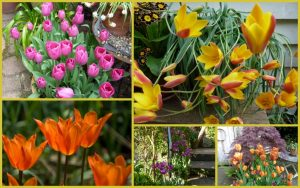 collage of colourful tulips